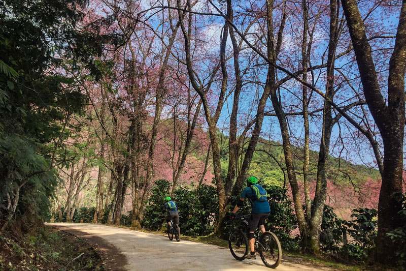 Sakura Blossom Chiang Mai
